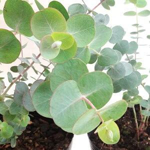 ■良品庭木■ネイティブプランツユーカリベイビーブルー3号ポット苗