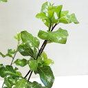 ■良品庭木■ピットスポルム シルバーシーン2.5号ポット苗