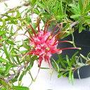 ■良品庭木■ネイティブ プランツ グレビレアジンジンジェム5号鉢植え