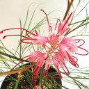 ■良品庭木■ネイティブ プランツ ロンギスティラグレビレアエレガンス5号鉢植え