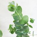 ■良品庭木■ユーカリ プルベルレンタ3号ポット苗