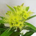 ■良品庭木■ネイティブ プランツ キサントステモン イエロー5号鉢植え