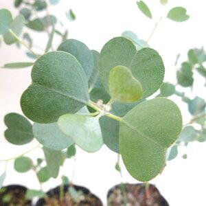 ■良品庭木■ユーカリ ウェブステリアナハートリーフユーカリ5号鉢植え
