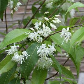 ■良品庭木■トキワエゴノキ(常緑)3.5号ポット苗