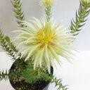 ■良品庭木■ネイティブ プランツ フィリカ プベスセンス5号鉢植え