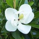 ■良品庭木■鉢植えで楽しめる!タイサンボク ケイパレス10.5cmポット苗