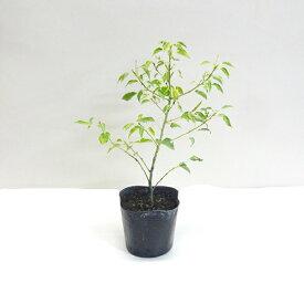 ■良品庭木■矮性クスノキ3.5号ポット苗