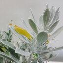 ■良品庭木■ネイティブ プランツ エレモフィラ グラブラ10.5cmポット苗