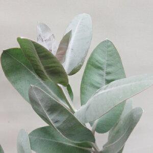 ■良品庭木■ネイティブ プランツ ユーカリ プレウロカルパ5号鉢植え