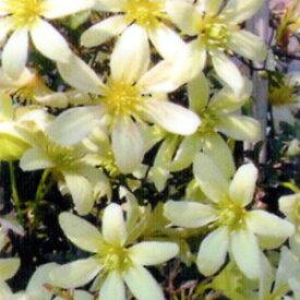 ■宿根草■常緑クレマチスペトレイ9cmロングポット苗
