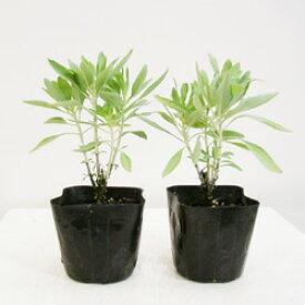 ■ハーブ苗■カリフォルニア ホワイトセージ(サルビア アピアナ)10.5cmポット苗