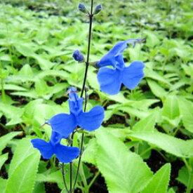■宿根草■サルビア サギッタタ10.5cmポット苗