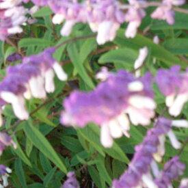■宿根草■サルビア レウカンサホワイト (メキシカンブッシュセージ) 10.5cmポット苗