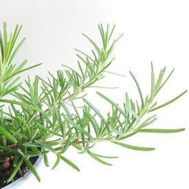 ■香りのハーブ苗■NEW!ローズマリー フォックステール這性10.5cmポット苗