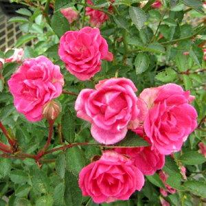 ■ミニバラ■四季咲きガーデンローズほほえみルージュ 極小輪ばら10.5cmポット苗