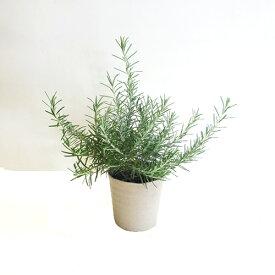 ■香りのハーブ苗■再入荷!ローズマリー プロスタラータス這性10.5cmポット苗