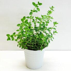 ■香りのハーブ苗■オレガノ シュープリーム 10.5cmポット苗