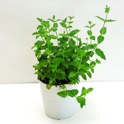 ■香りのハーブ苗■ストロベリーミント10.5cmポット苗