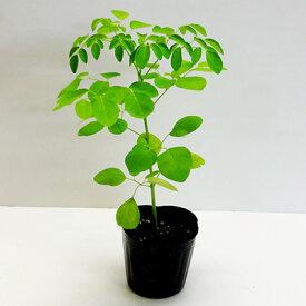 ■ハーブ苗■奇跡の樹!モリンガワサビノキ9cmポット苗