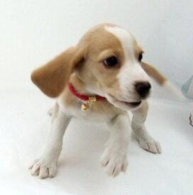 【首輪】【小型犬用】【猫用】リリーカラー 首囲17〜21cm