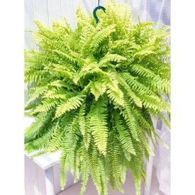 観葉植物 シダ ネフロレピス ハッピーゴールデン 8号吊り鉢 Nephrolepis exaltata sp. ボストンファーン ボストンファン