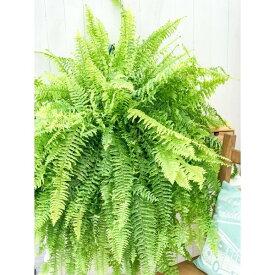 観葉植物 シダ ネフロレピス タイガー 8号吊り鉢 Nephrolepis exaltata 'Tiger' ボストンファーン ボストンファン ハッピーマーブル