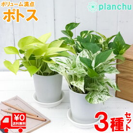 観葉植物 ポトス 3種セット ゴールデン ライム マーブルクイーン 4号鉢 受け皿付き Epipremnum pinnatum エピプレムナム