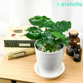 観葉植物 フィロデンドロン セローム スーパーアトム 4号鉢 受け皿付き Philodendron selloum コンパクト 矮性品種 大きくならない