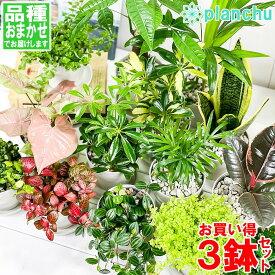 観葉植物 お試しミニ観葉 3種セット 品種おまかせ 3.5号鉢 受け皿付き 育て方説明書付き