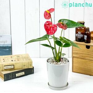 観葉植物 アンスリウム レッド 4号鉢 受け皿付き 育て方説明書付き Anthurium andraeanum アンスリューム 鉢花