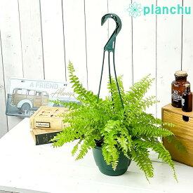 観葉植物 シダ ネフロレピス ツデー 5号吊り鉢 育て方説明書付き Nephrolepis exaltata 'Teddy Junior' ボストンファーン ボストンファン