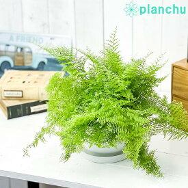 観葉植物 ネフロレピス マリサ 6号平鉢 受け皿付き 育て方説明書付き Nephrolepis 'Marisa' ボストンファーン 希少 レア 珍しい
