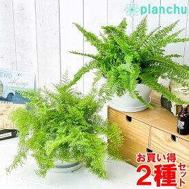 観葉植物 ネフロレピス フラッフィーラッフルズ & マリサ 2種セット 6号平鉢 受け皿付き 育て方説明書付き ボストンファーン 希少 レア 珍しい