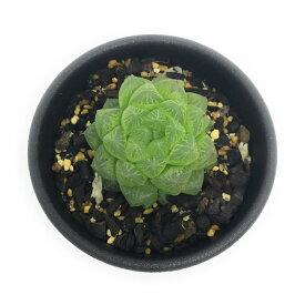 多肉植物 ハオルチア 光るオブツーサ 2.5号鉢 ハオルシア Haworthia obutusa 'Hikaru'