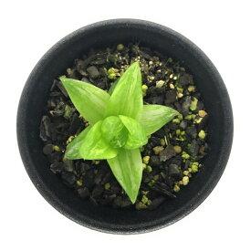 多肉植物 ハオルチア 京の華錦 2.5号鉢 ハオルシア Haworthia cymbiformis var.angustana f. variegata