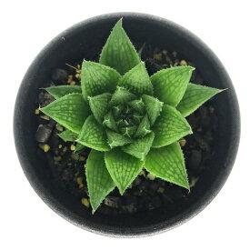 多肉植物 ハオルチア マルミアーナ var. マルミアーナ JDV93/11 S.Sterkstroom 2.5号鉢 ハオルシア Haworthia marumiana var. marumiana