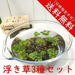 浮き草3種セット サルビニアククラータ ドワーフフロッグピット オオサンショウモ 送料無料