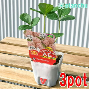 野菜苗 イチゴ 天使のいちご エンジェルエイト 3号ポット 3ポットセット 果物 果菜苗 イチゴ苗 いちご苗 いちご