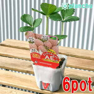 野菜苗 イチゴ 天使のいちご エンジェルエイト 3号ポット 6ポットセット 果物 果菜苗 イチゴ苗 いちご苗 いちご
