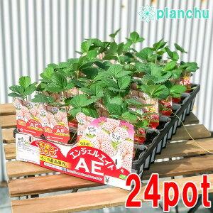 野菜苗 イチゴ 天使のいちご エンジェルエイト 3号ポット ケース売り 24ポットセット 果物 果菜苗 イチゴ苗 いちご苗 いちご