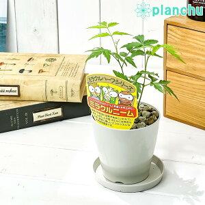 ハーブ 虫除け植物 ミラクルニーム 3.5号鉢 受け皿付き 育て方説明書付き Azadirachta indica 観葉植物 実生