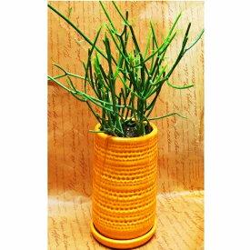 観葉植物 ミルクブッシュ 4号 イエロー陶器鉢