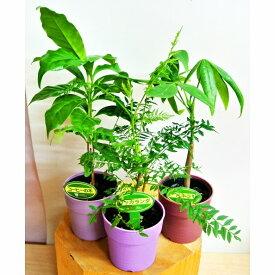 ミニ観葉植物 3種セット ジャカランダ パキラ コーヒーの木