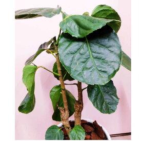 観葉植物 ポリシャス フリスビー 8号