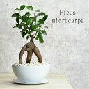 【再入荷!】 ガジュマル 鉢植え アイアン鉢 受け皿付き 白/黒 多幸の樹 おしゃれ 観葉植物 プレゼント 卓上サイズ …