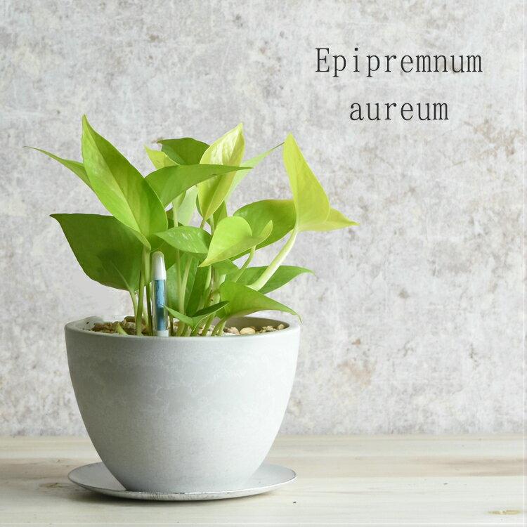 ポトス・ライム ホワイト 鉢植え アイアン受け皿 水分計(サスティー)付き [プラスチック製ポットS] 葉植物 リビング 【卓上サイズ】