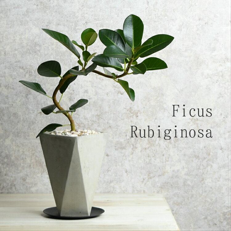 フランスゴム 鉢植え セメント鉢 水分計のサスティー付き アイアン受皿 ゴムの木 フィカス・ルビギノーサ おしゃれ 観葉植物