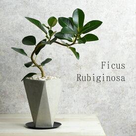 フランスゴム 鉢植え セメント鉢 水分計のサスティー付き アイアン受皿 ゴムの木 フィカス・ルビギノーサ おしゃれ 観葉植物 卓上サイズ