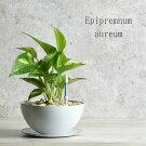 ポトスゴールデン鉢植えアイアン鉢白観葉植物NEW