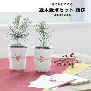 【家庭庭園】GD-888 縁木栽培セット 結び 盆栽 (黒松または赤松) 【聖新陶芸】